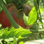 july 27 tomatoes tec 074