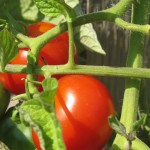 july 27 tomatoes tec 078