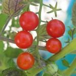 july 27 tomatoes tec 084