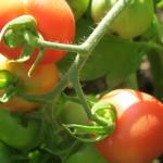 july 27 tomatoes tec 085