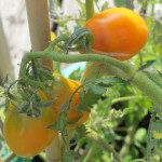 july 27 tomatoes tec 086