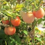 july 27 tomatoes tec 088