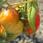 july 27 tomatoes tec 090
