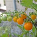 july 27 tomatoes tec 094