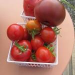 july 27 tomatoes tec 095