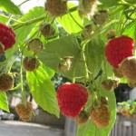 Raspberries in the garden behind my gallery