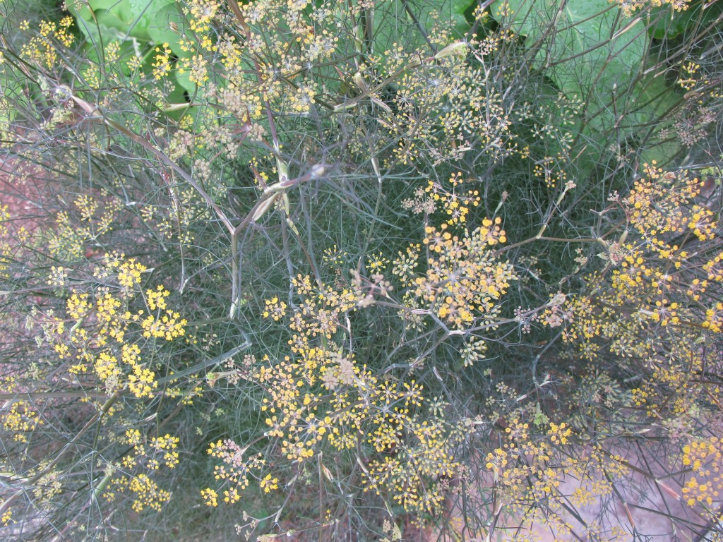 bronze fennel growing at 124 Merton St.