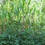 spoontomatoes garden aug2010 085