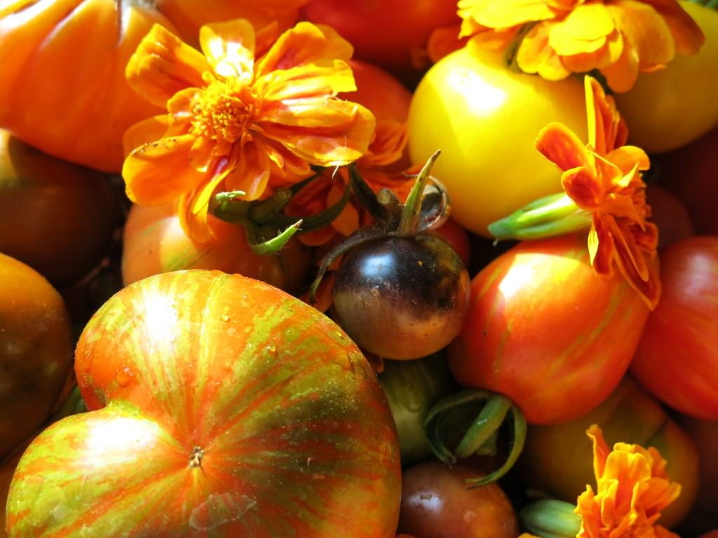 Red and Yellow Boar, Indigo Rose, Striped Tonnelet, and Striped Marvel Zapotec Tomatoes and Marigolds, a useful culinary flower from 124 Merton rooftop farm